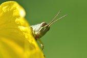Face of grasshopper