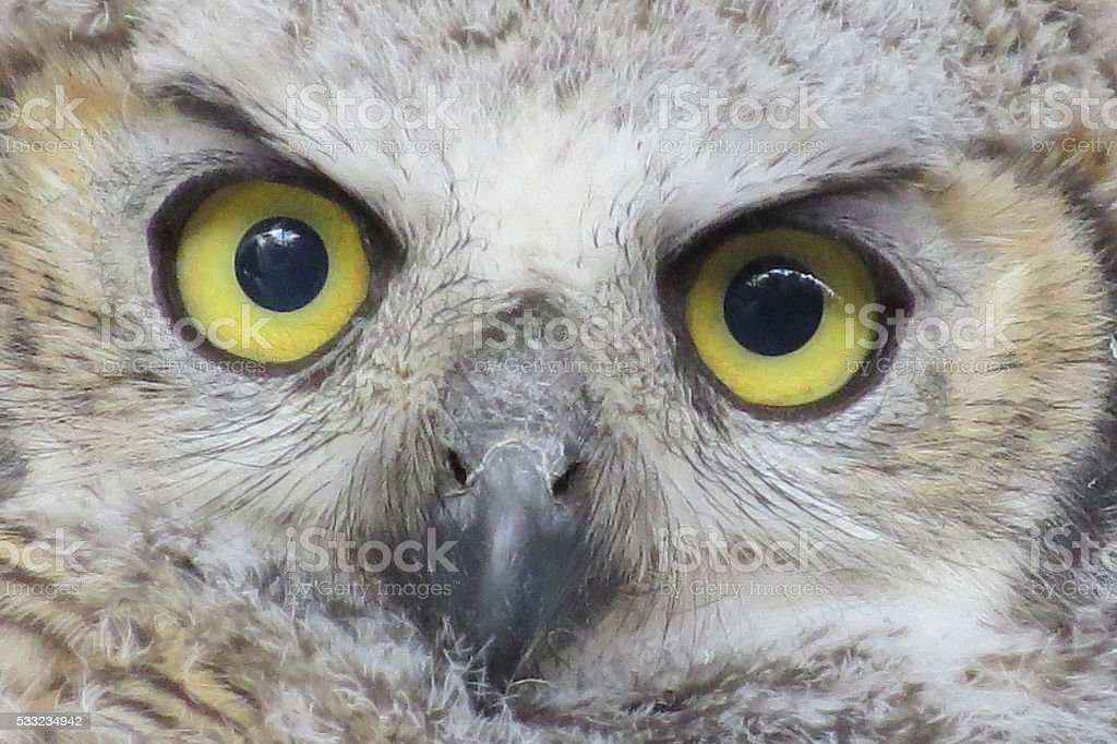 Face of Juvenile Great Horned Owl stock photo