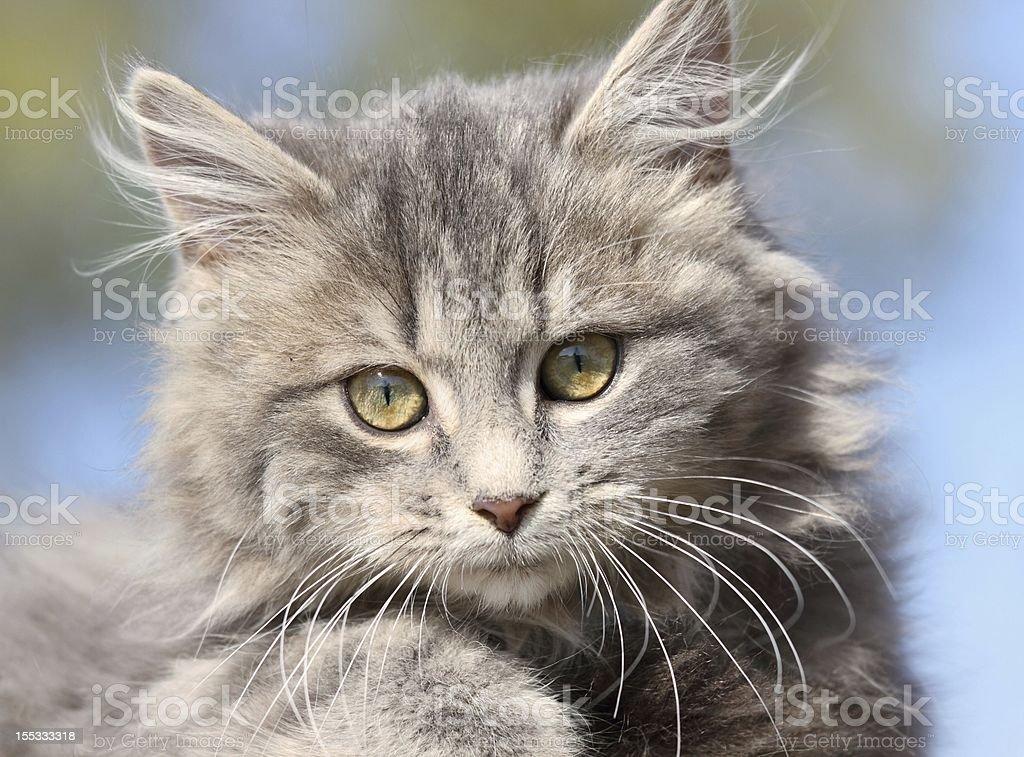 face of kitten royalty-free stock photo