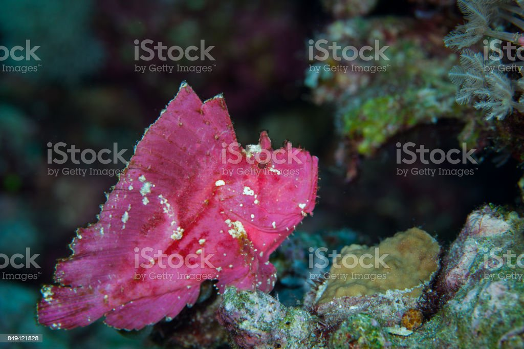 Face of The leaf scorpionfish or paperfish,(Taenianotus triacanthus) is pink vivid color in black background,Layang layang , Malaysia stock photo