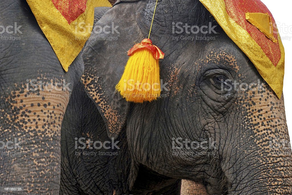 Face of young Asian elephant royalty-free stock photo