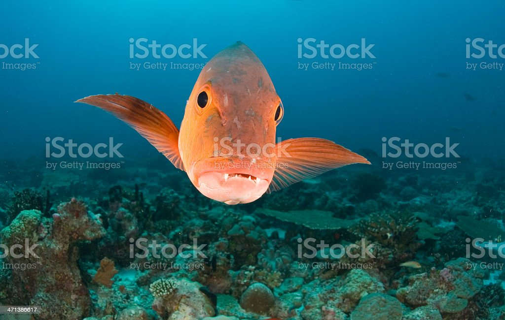 Face view of an orange fish in the bottom of the ocean  stock photo