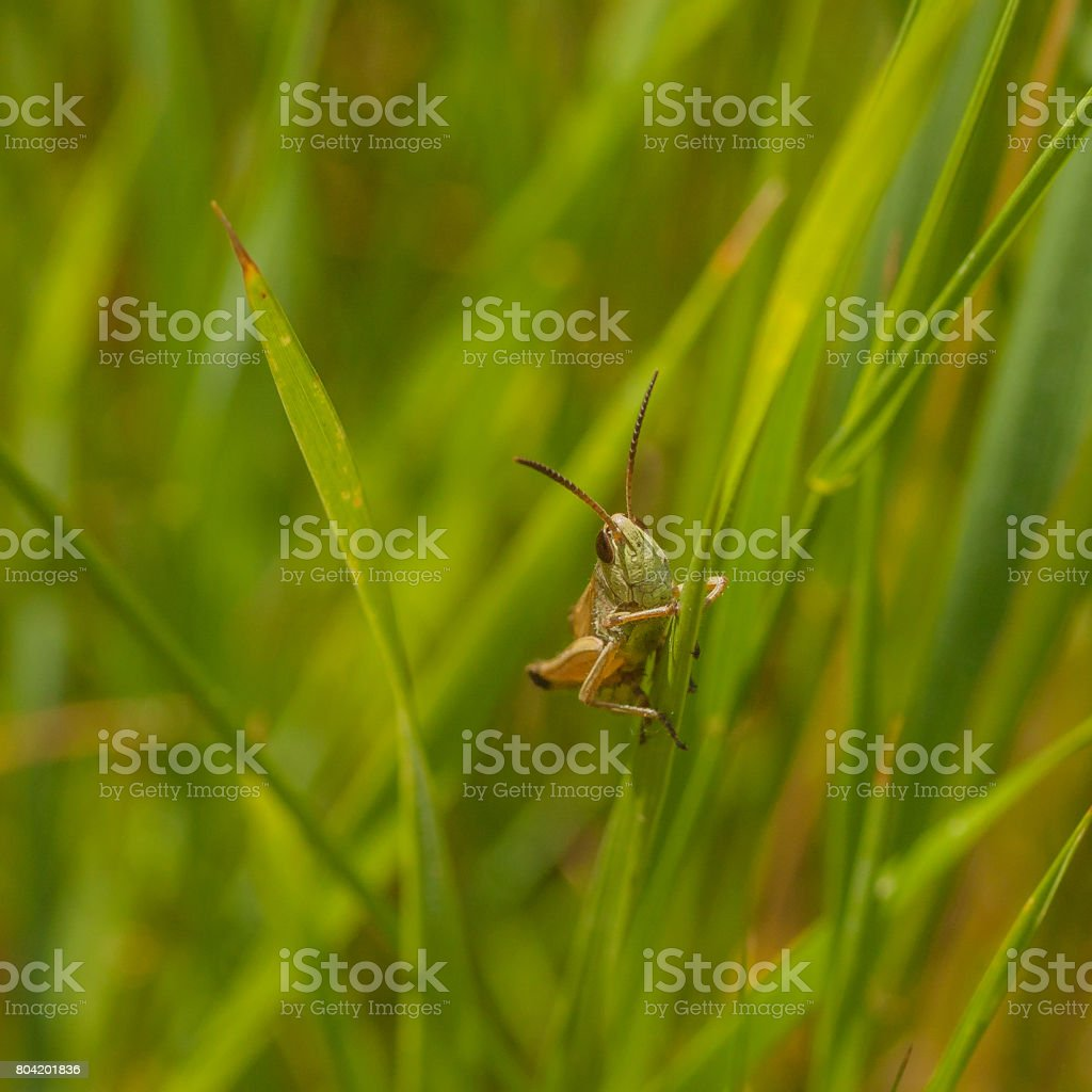 Face View of Grasshopper in Grass stock photo