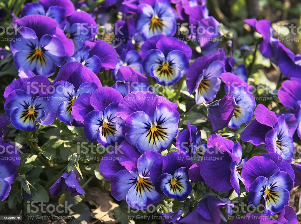 Faces of beautiful purple, blue and yellow pansy flowers royalty-free stock photo