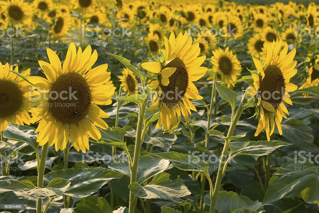 Faces of the Sun royalty-free stock photo