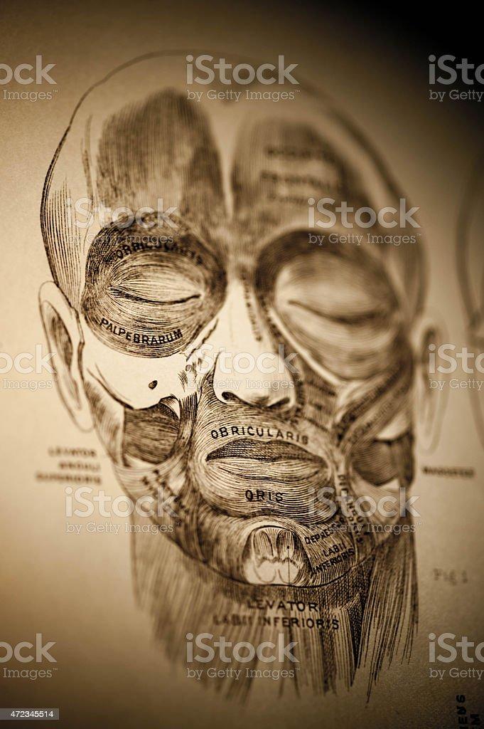 Facial expressive muscles circa 1883 stock photo