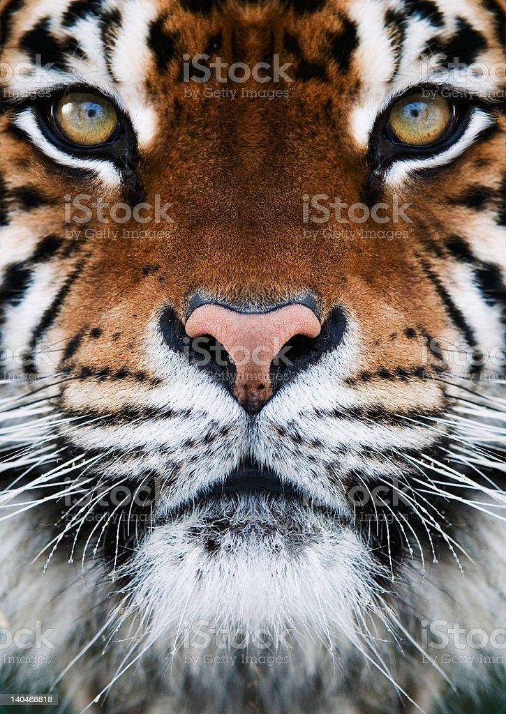 Facial photo of a Bengal tiger royalty-free stock photo