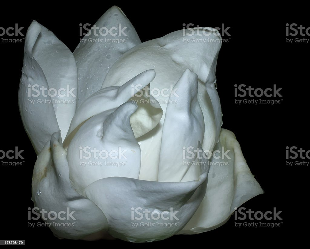 Facial view of Magnolia Bud Flower royalty-free stock photo