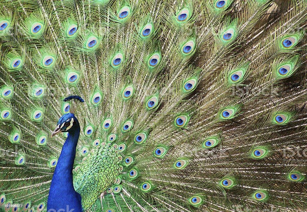 facing left peacock stock photo