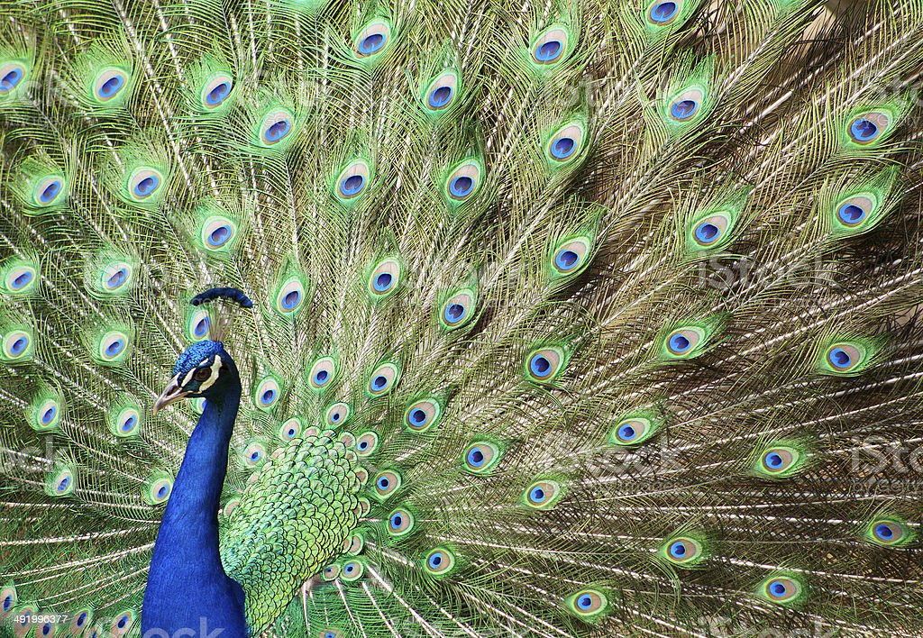 facing left peacock stock photo