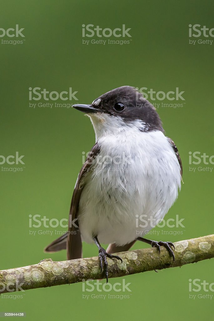 Facing profile of male pied flycatcher perching stock photo