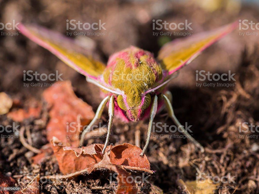 Facing the Deilephila elpenor or Elephant Hawk-moth stock photo
