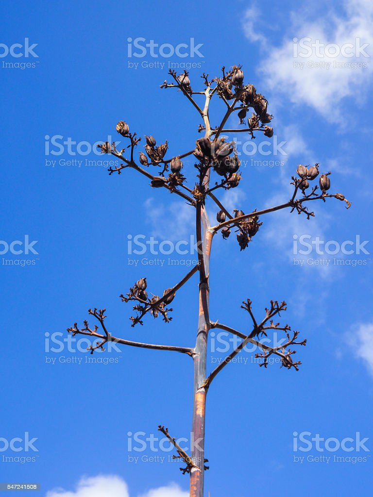 Faded blossom of Agave plant isolated on blue sky stock photo