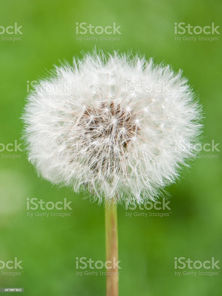 Faded blossom of blowball isolated on green background stock photo