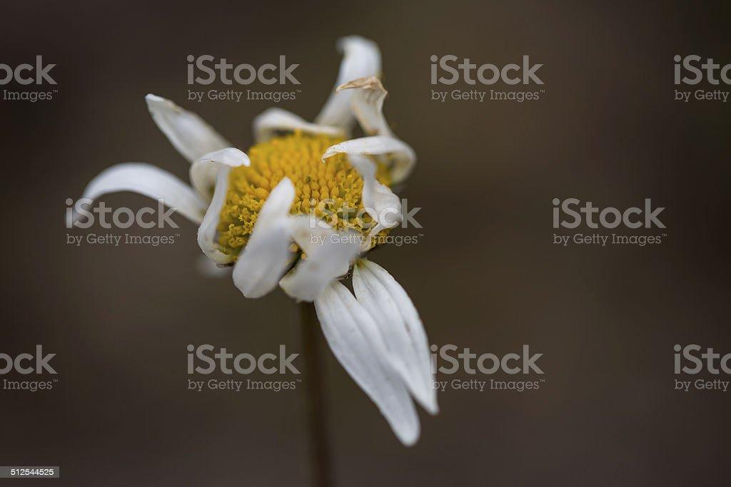 Faded daisy royalty-free stock photo