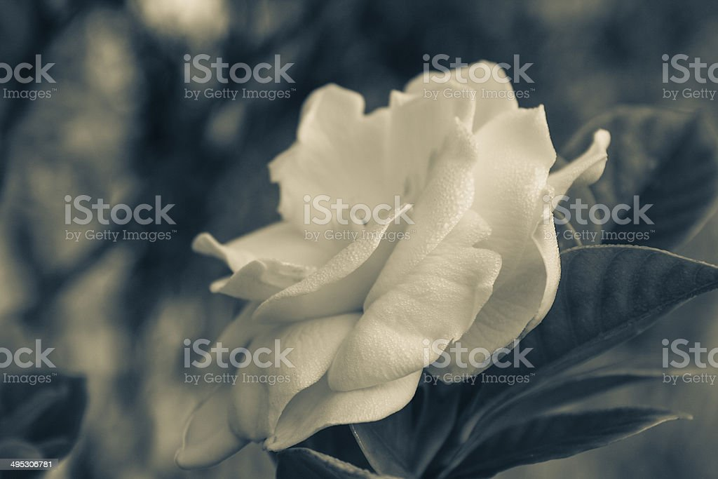 Faded Gardenia stock photo