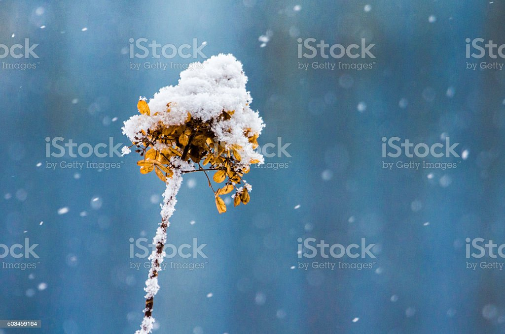 Faded hydrangea in a snowy day. stock photo