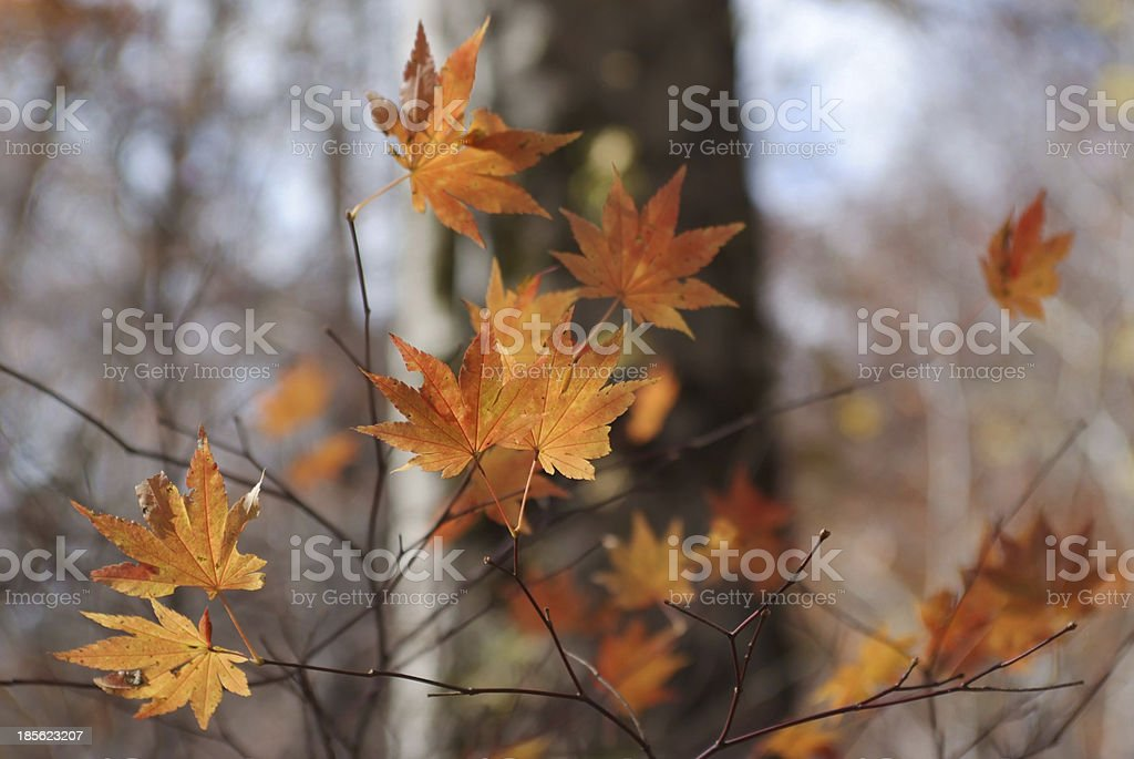 Faded maple leaves stock photo