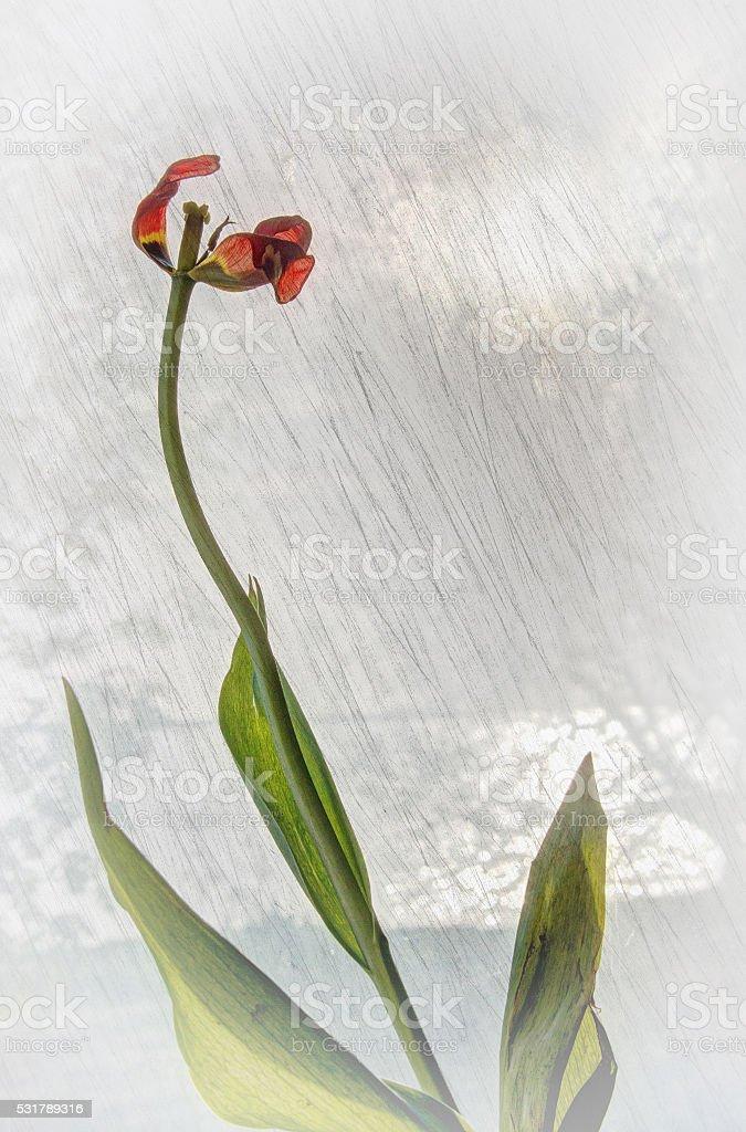 Faded tulip in the window stock photo