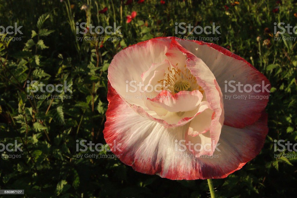 Fading Color royalty-free stock photo