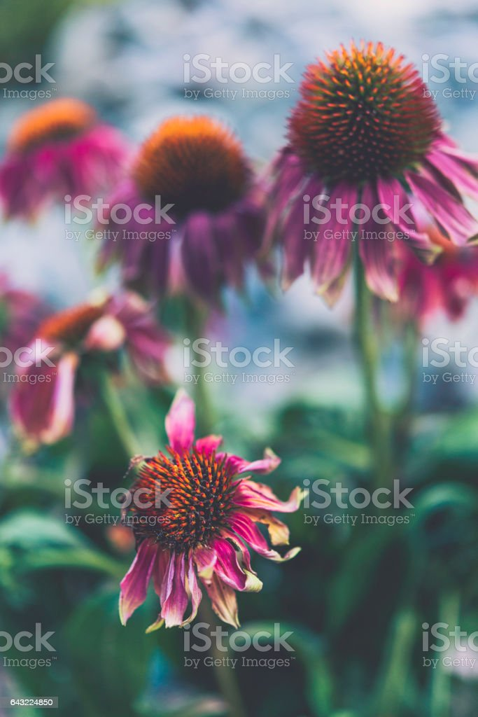 Fading gerbera daisies stock photo