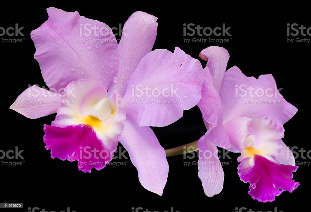 Fading Orchids stock photo