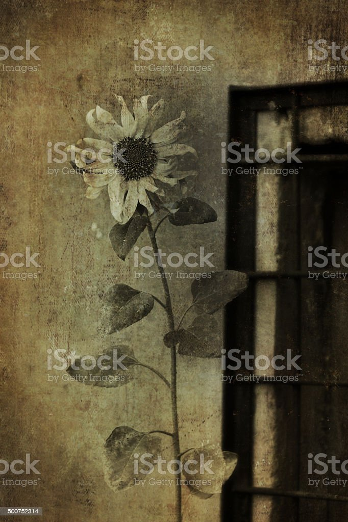 fading sunflower stock photo
