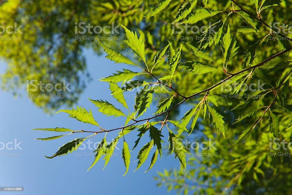 Fagus sylvatica stock photo