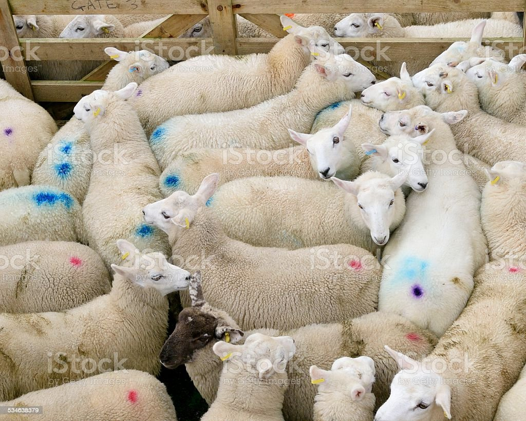 Fair Isle Sheep To Slaughter stock photo