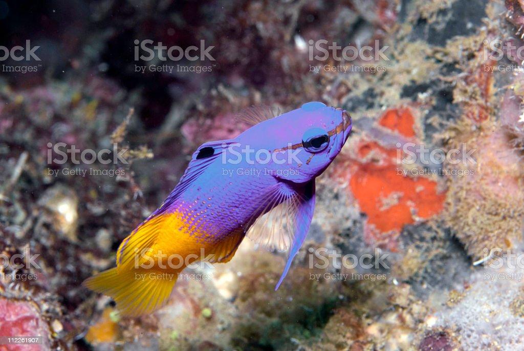 Fairy Basslet fish royalty-free stock photo