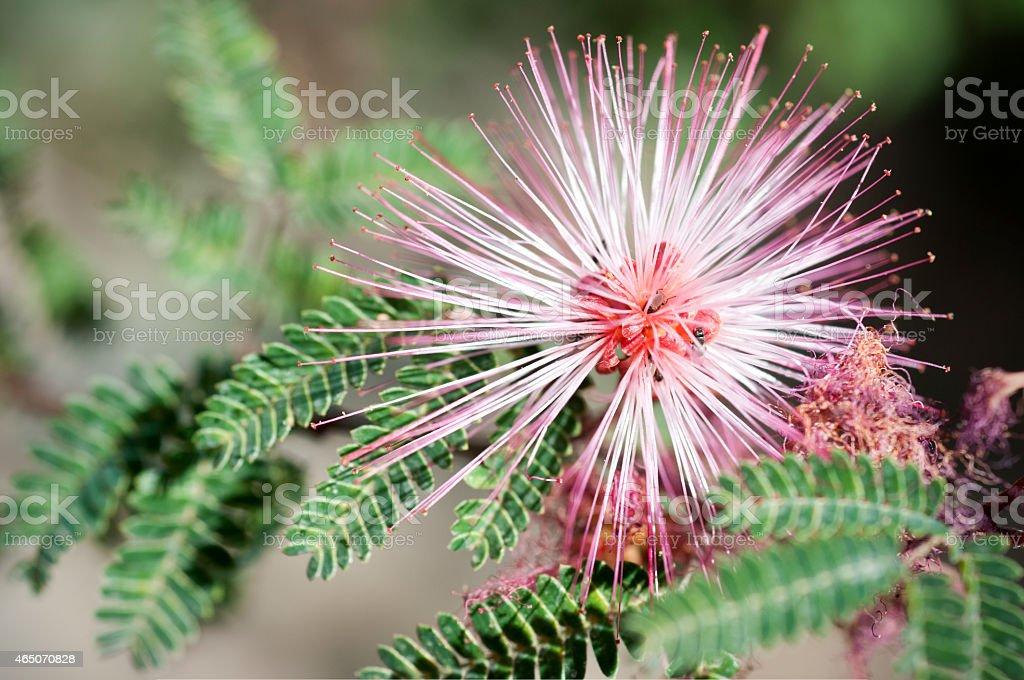 fairy duster  Calliandra eriophylla stock photo
