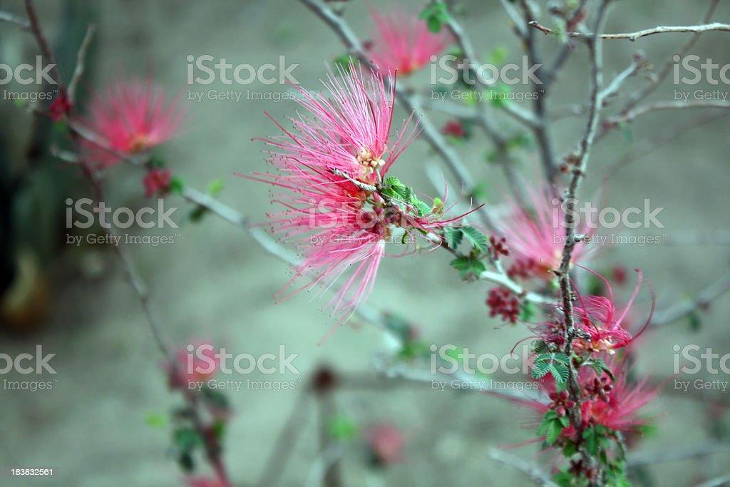 Fairy Duster in Arizona royalty-free stock photo