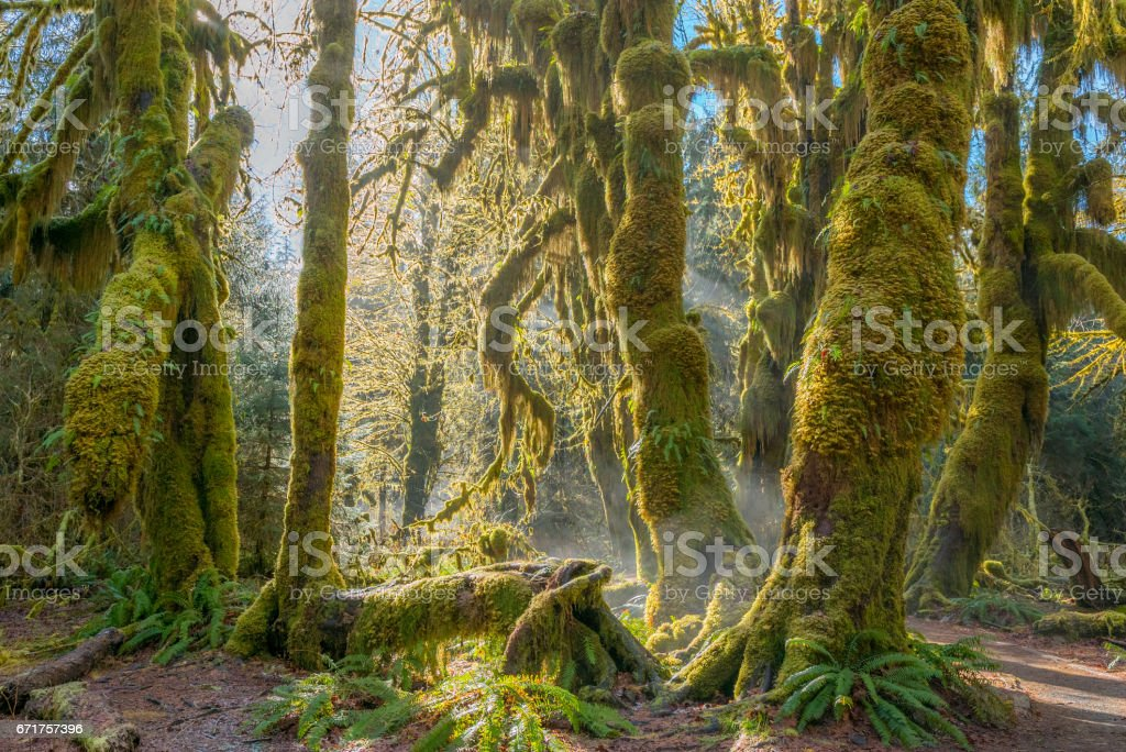 Fairy forest is filled with old temperate trees covered in green and brown mosses. stock photo