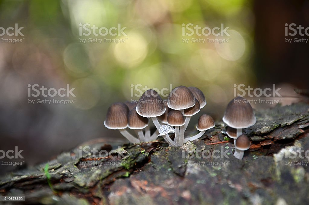 Fairy ink cap fungi growing on a rotting tree stump stock photo