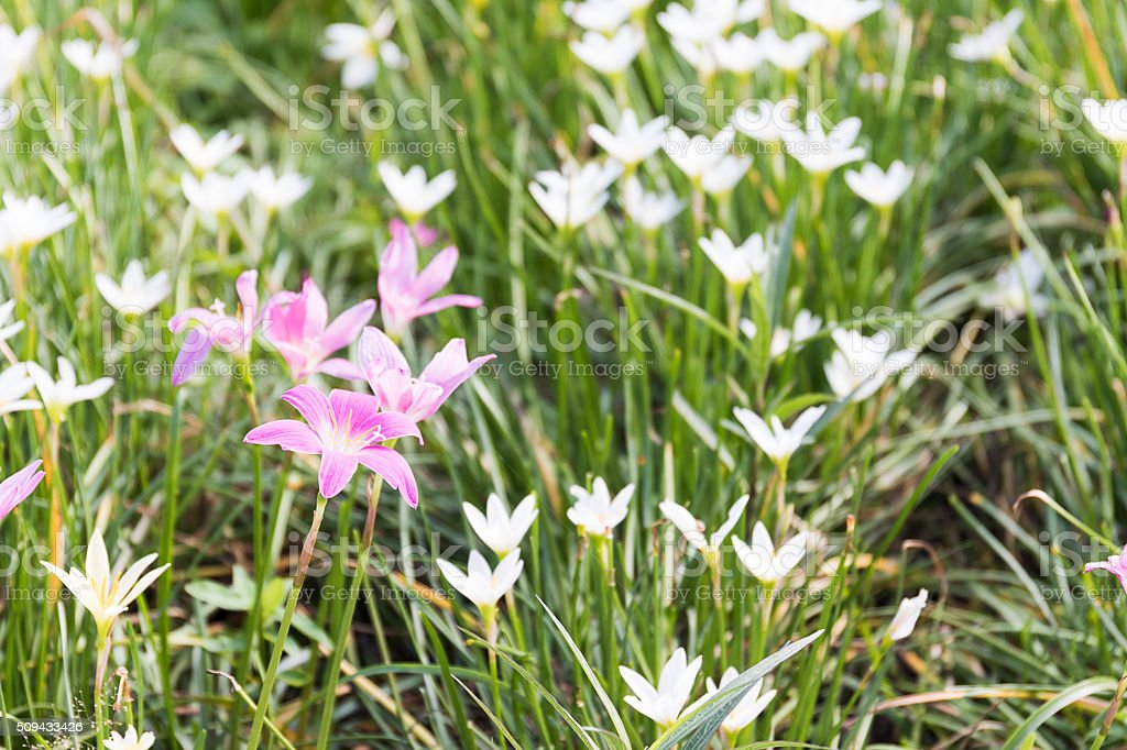 Fairy Lily flower in garden stock photo