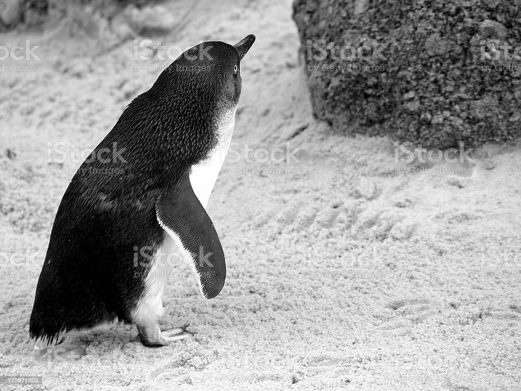 Fairy penguin - desaturated royalty-free stock photo