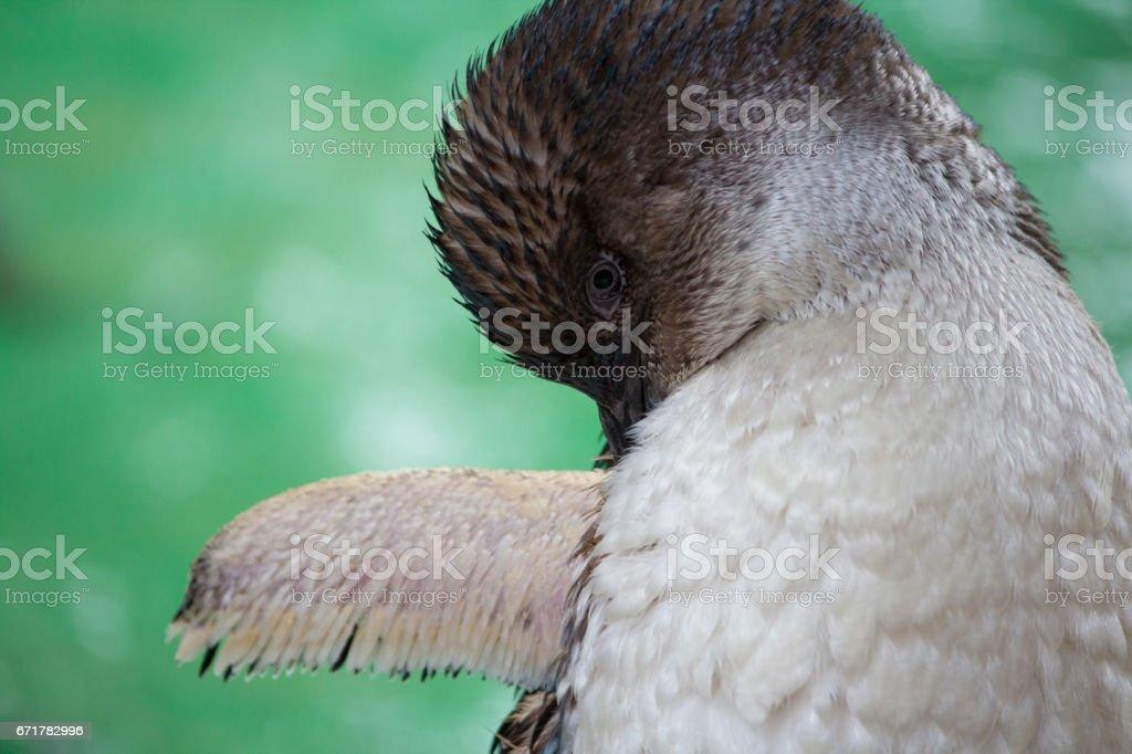 Fairy Penguin on Green stock photo