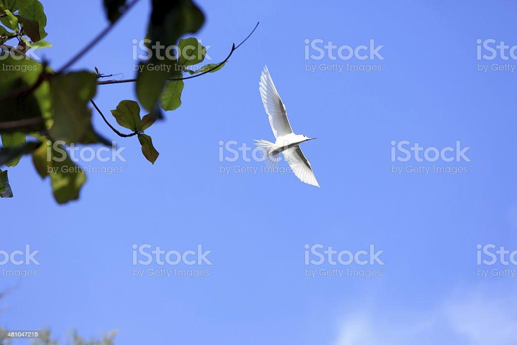 Fairy Tern stock photo