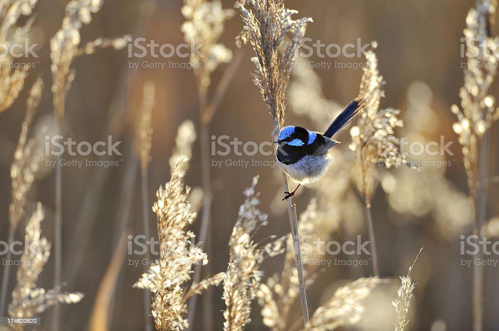 Fairy Wren stock photo