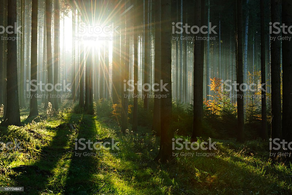 Fairytale Forest - Sunbeams in Spruce Woodland stock photo