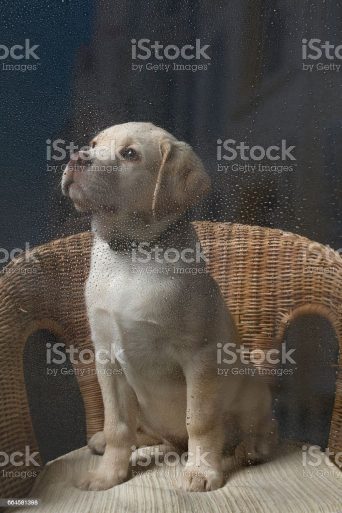 Faithful puppy waiting for her master stock photo