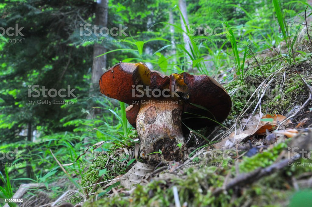 Fake porcini mushroom in the forest. stock photo