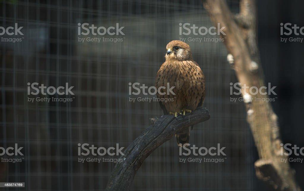 Falco naumanni stock photo