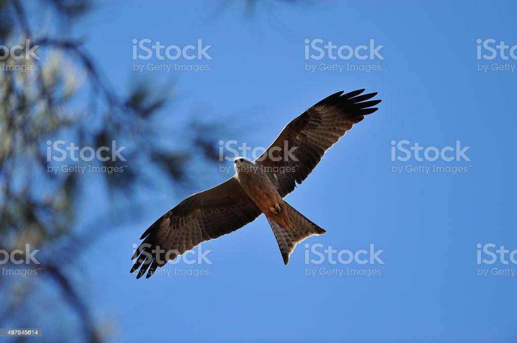Falcon at Australian Outback stock photo