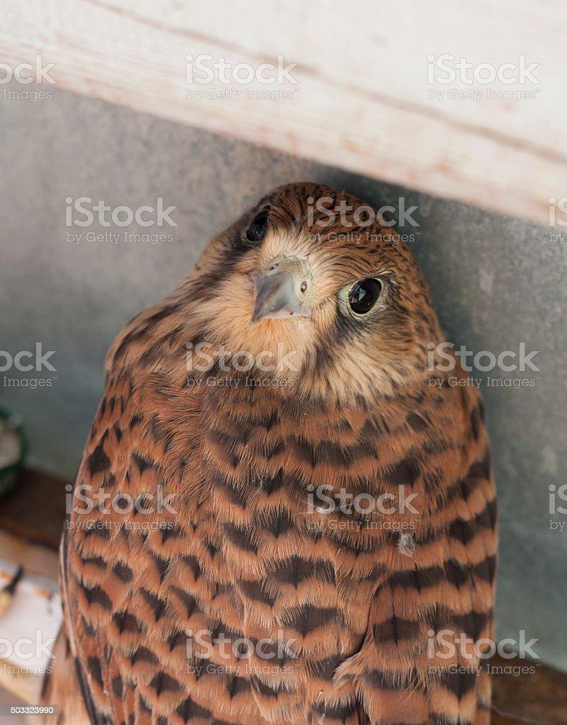 Falcon bird photo texture stock photo