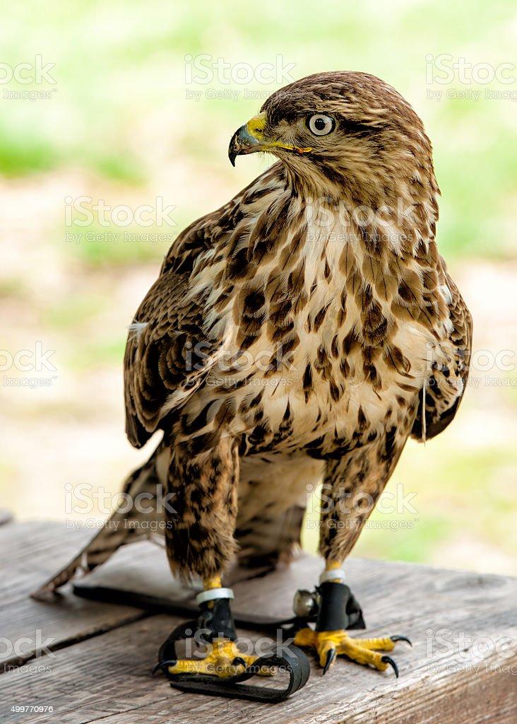 Falcon bird stock photo