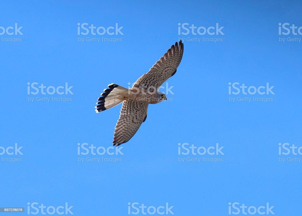 Falcon Common Kestrel / Falco tinnunculus stock photo
