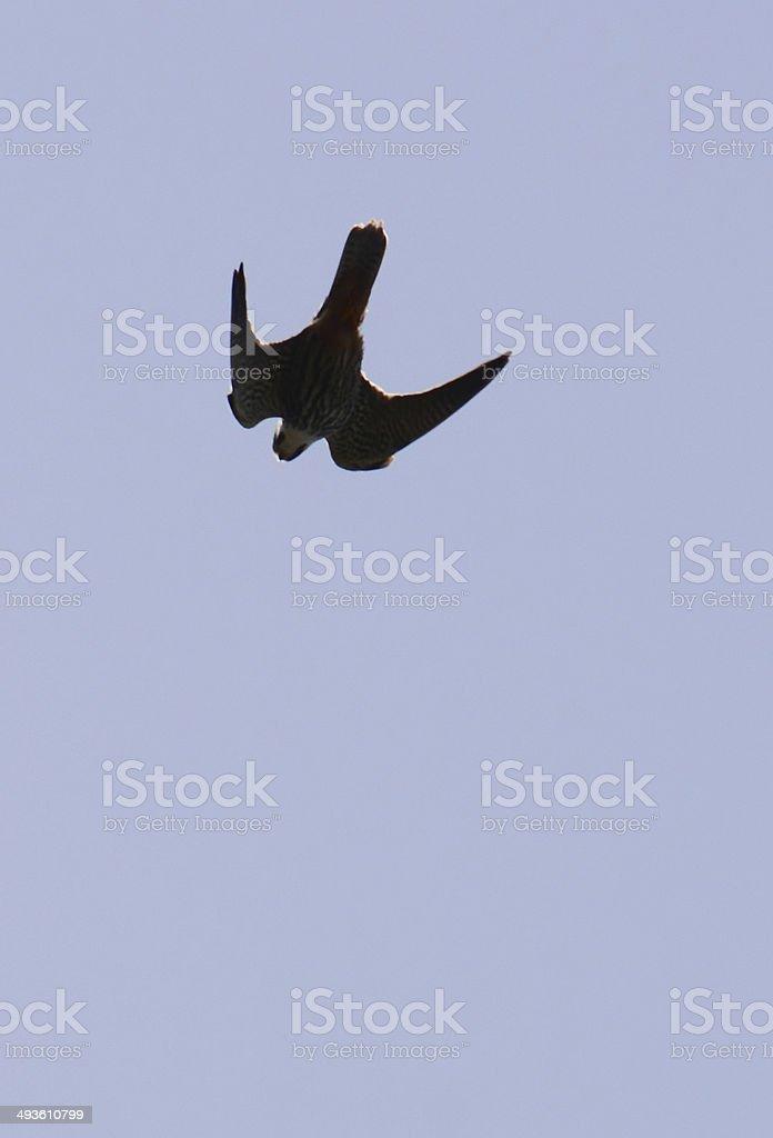 Falcon dive for prey stock photo