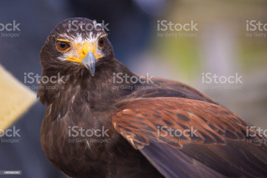 Falcon Eyes stock photo