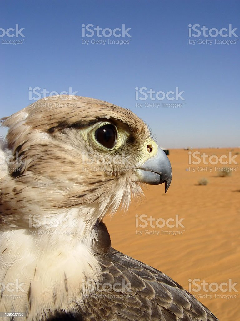 Falcon face royalty-free stock photo